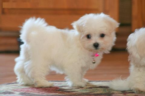 Lovely Males And Females Teacup Maltese Puppies For Adoption