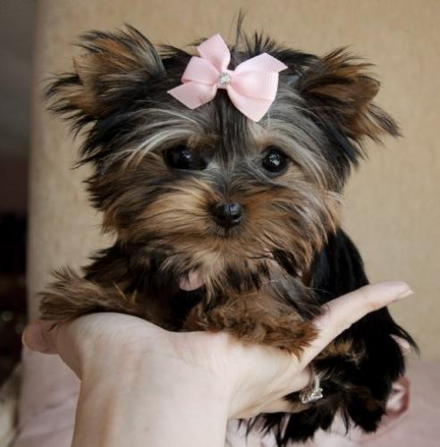 Teacup Yorkie Puppy For Free Adoption Free Classifieds