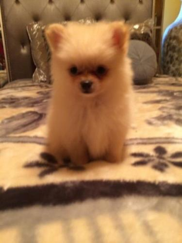 pomeranian puppies for sale | Free Classifieds