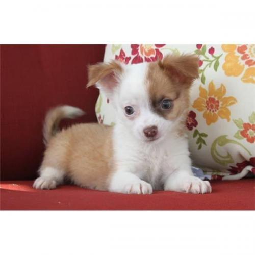 Tiny Teacup Chihuahua Puppies Available Free Classifieds