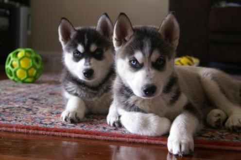 Angelic Solid Black And White Siberian Husky Puppies Free Classifieds