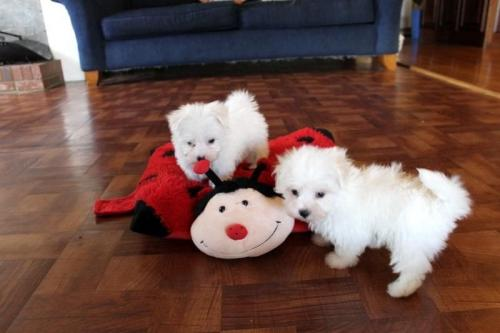 Champion teacup Maltese puppies males and females for sale