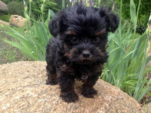 Teacup Yorkie Poo Puppies Available For Sale Free Classifieds