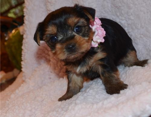 Adorable Yorkie Puppies For Adoption Text 609 536 9707 Free