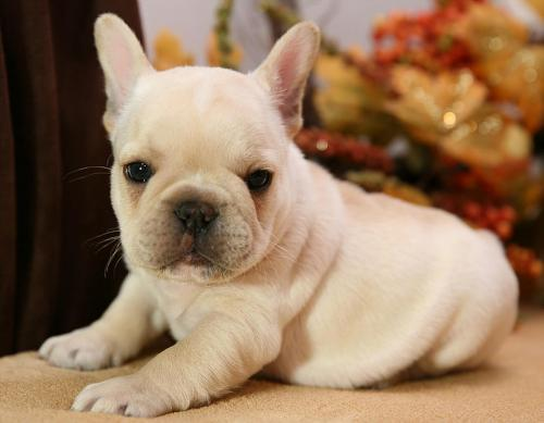 Quality French Bulldog Puppies | Free Classifieds