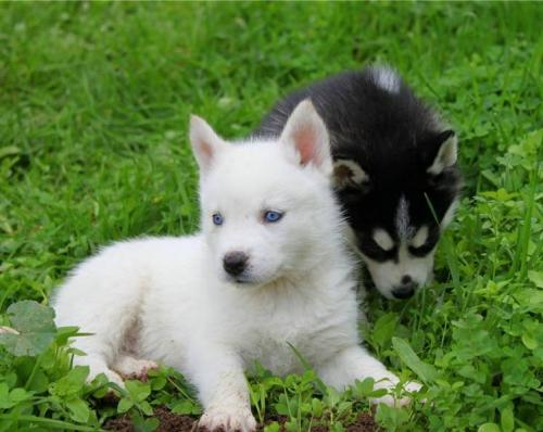 male and female siberian husky puppies for adoption | Free