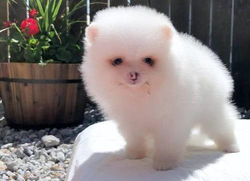 Teacup white pomeranian puppies 2 male and 2 female    Free