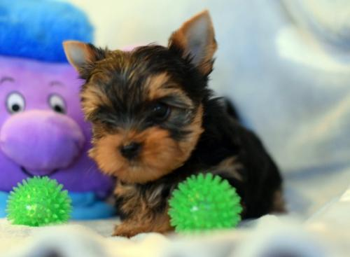 nICE yORKIE pUPPIES fOR hOME(979) 267-7392  /fideljknight