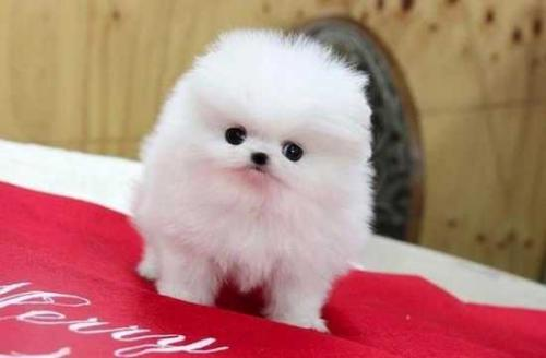 Male And Female Teacup pomeranian Puppies | Free Classifieds